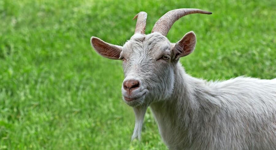 Den omtalte ged