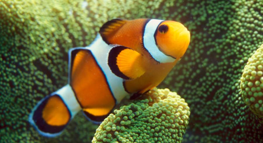 Klovnefisk er en af Great Barrier Reefs mange smukke fiskearter.