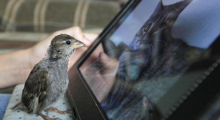 Der er stadig markante forskelle mellem, hvad man kan få af småprogrammer eller apps til sin tavlecomputer. Den lille fugl her kunne måske også godt tænke sig et bredere udvalg... Foto: Ilya Naymushin, Reuters/Scanpix