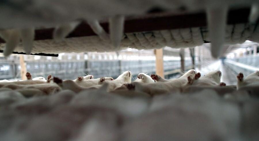 Det risikerer at smitte af på andre lande, hvis et europæisk land indfører forbud mod pelsdyravl.