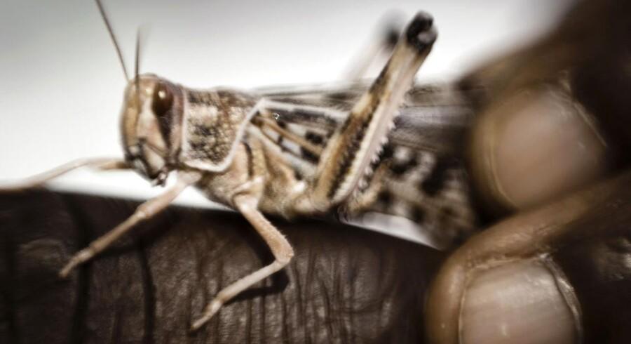 Græshoppens hjerne er en glimrende model for menneskehjernen. Hos Lundbeck i Valby bruger man nu græshopperne til at udvikle og afprøve ny medicin. Baggrund om hjerneforskning. Her holder seniorforsker Lassina Badolo en græshoppe mellem fingrene.