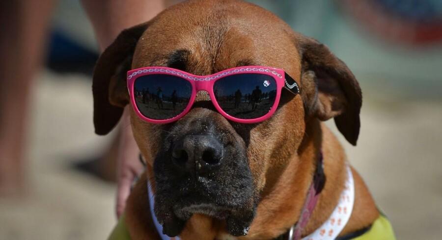 Surferhunden Roxy venter på hendes tur.
