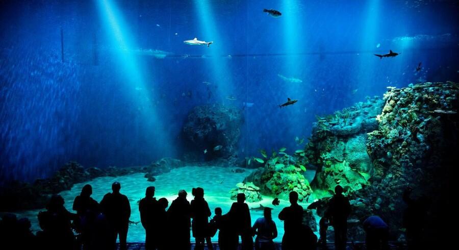 Interessen er stor da Den Blå Planet fredag d. 22 marts 2013 åbner for offentligheden for første gang. Den Blå Planet, Danmarks Akvarium i ny udgave, åbner for publikum.