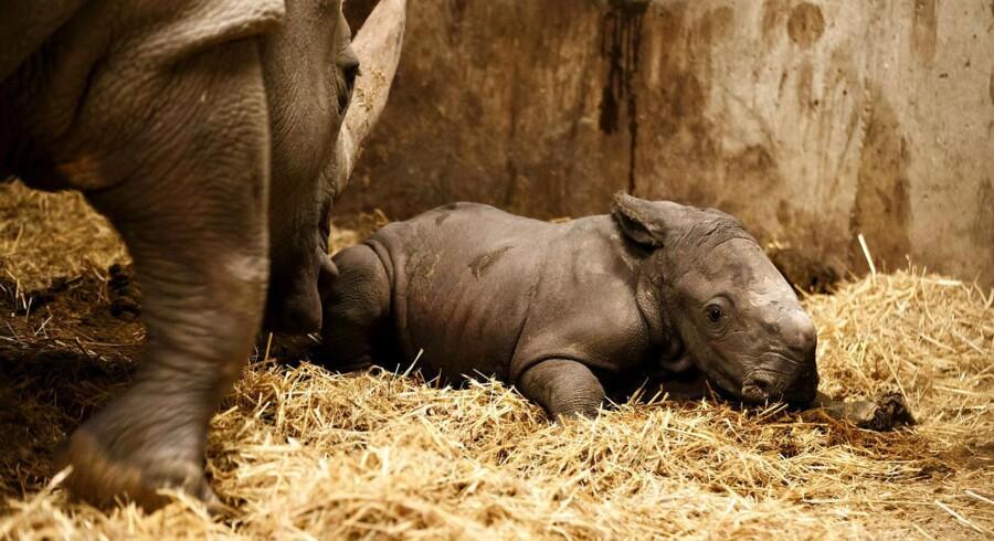 For første gang i 35 år er der født en næsehornsunge i Zoo i København. Her er det billeder fra kørt efter fødslen, lørdag den 24. januar, 2015.