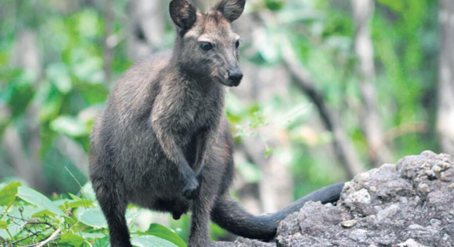 Er det storheden, der trækker, er Kakadu National Park stedet at køre efter. Her finder man bl.a. kænguruens lillebror den sorte wallaroos.