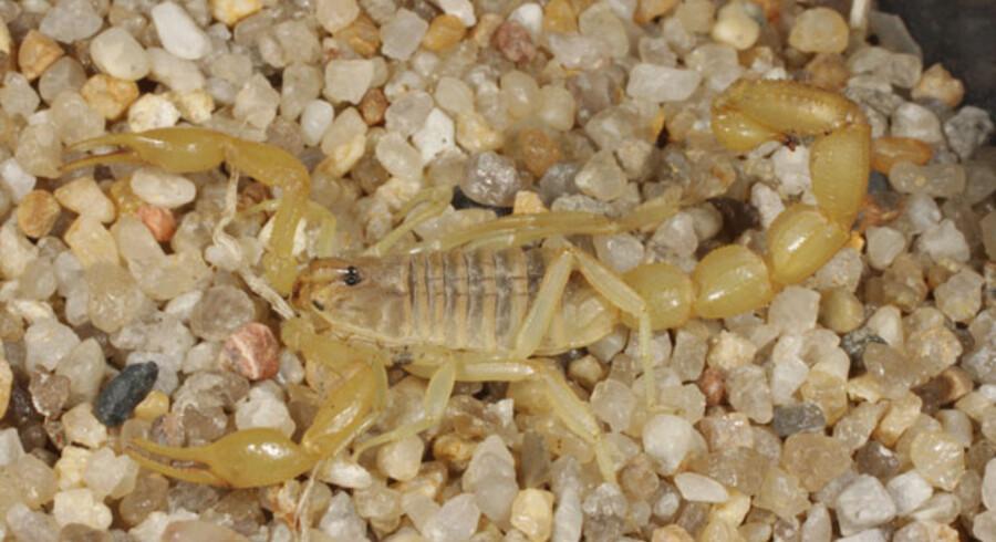 Her er den, den skorpion, som Sune Leisner fandt i sin baggage, da han kom hjem fra Iran.