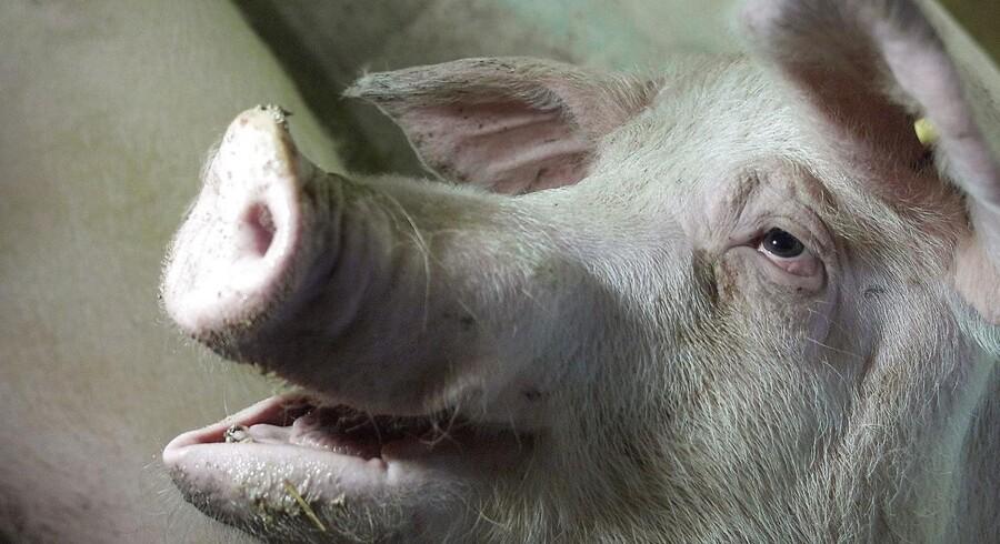 Det danske landbrugsselskab Idavang har på rekordtid bidt sig fast i Rusland, hvor markedet er underforsynet og den lokale produktion kun udgør cirka 30 procent af markedet for svinekød.