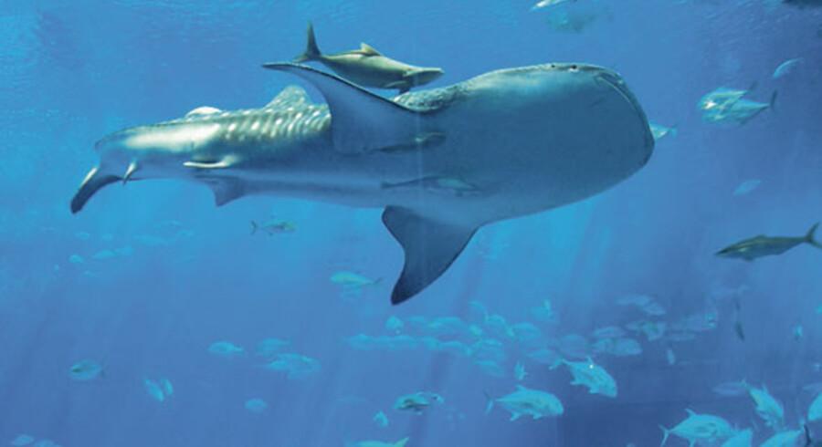 Livet under havet er mangfoldigt. Her venter store oplevelser – fra de mindste babyskildpadder til de store imponerende hvalhajer.
