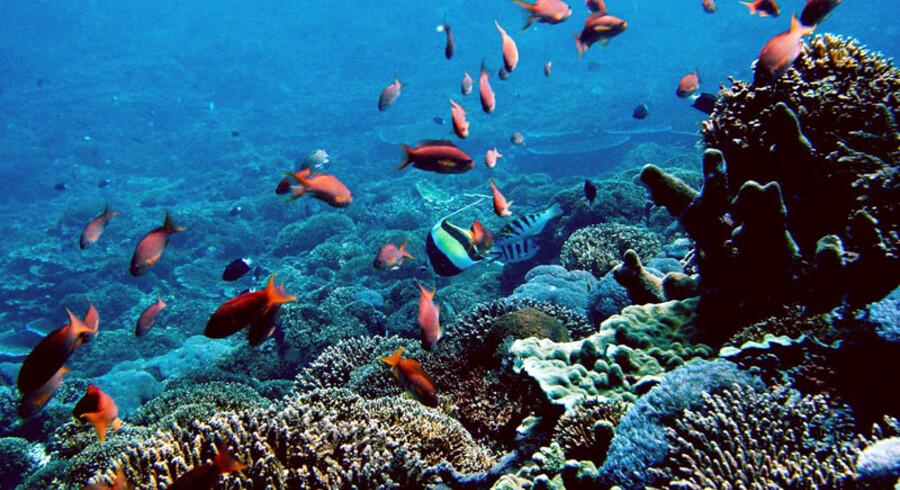 Den enorme klumpfisk lever normalt på omkring 600 meters dybde, men de kommer tæt på Nusa Lembongans kyster i det sene efterår.