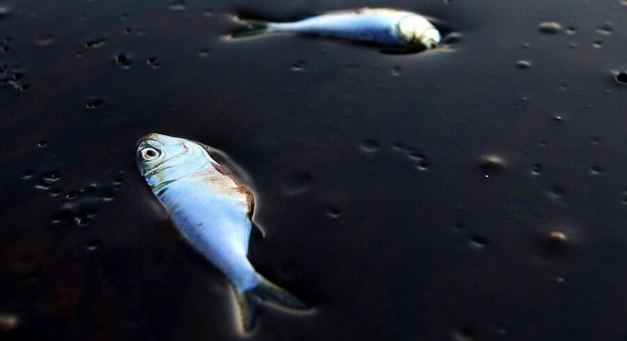 Dyrelivet i Den Mexicanske Golf blev hårdt ramt af oliekatastrofen i 2010.