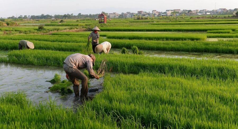 EU og Vietnam er enige om hovedtrækkene i en omfattende og historisk frihandelsaftale. Risproduktionen er en af de vigtige vietnamesiske sektorer - her omplanter risbønder ris uden for Hanoi. Foto: AFP PHOTO / HOANG DINH Nam