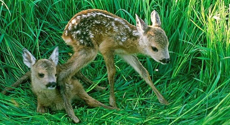 Råkid, harer og agerhøns lever livet farligt, når de ligger og trykker sig, mens landmænd slår deres brakmarker med store maskiner.