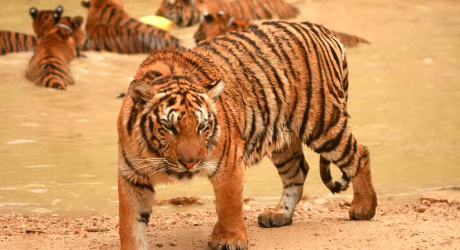 Tigrene er lige så legesyge som huskatte. Her kæler en af munkene med en tigerunge.