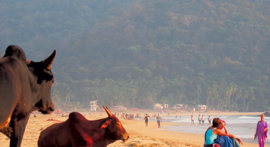 De indiske udgaver af drøvtyggeren er nogle selvsikre, zen-agtige skabninger, der udviser en udpræget grad af samme ro som de mange yogadyrkende og mediterende turister på Goa's hippiehistoriske strande.