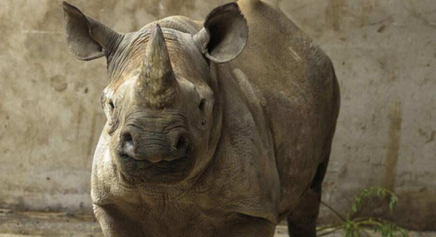 Thabo er et sort næsehorn - en af verdens truede dyrearter - og den første af sin art i hele Skandinavien.