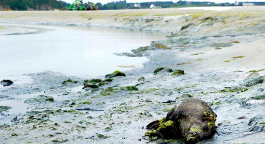 Et dødt vildsvin ligger i Saint-Brieuc bugten efter rådnende blågrønne alger har invaderet strande i det vestlige Frankrig og Storbritannien.
