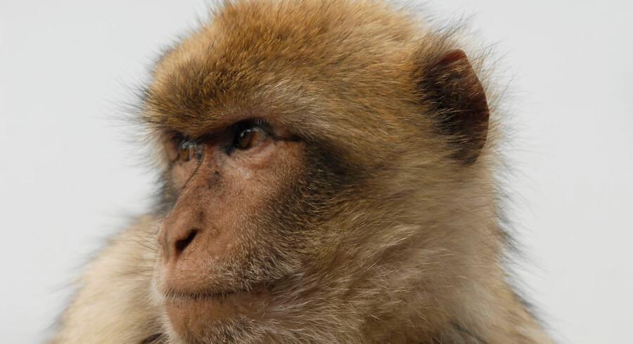 ARKIVFOTO 2013 af Berberabe- - Se RB 24/1 2016 16.58. Den vestjyske abe, der siden lørdag har været efterlyst, er slet ikke en bavian, som det ellers tidligere er kommet frem, men en berberabe. Det oplyser Blåvand Zoo til Ritzau. (Foto: Terkel Broe Christensen/Scanpix 2016)