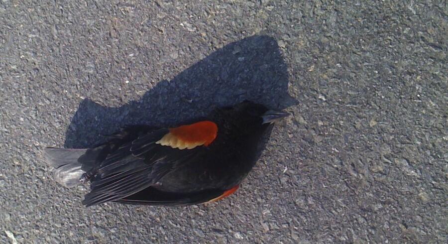 Tusinder af fugle af arten rødvinget trupial styrtede døde ned på årets sidste aften, da de forsøgte at undvige fyrværkeri.