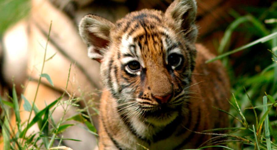 De store stibede kattedyr er godt på vej til at uddø som fritlevende vildt dyr.