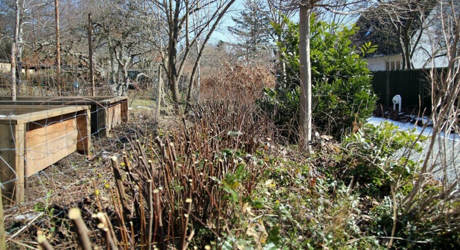 Den kraftige tilbageskæring af snedriver-buskene giver plads til at sætte hegnet op, og samtidig er de nemmere at grave op og flytte rundt med, når der kun er de korte og kraftige grenender tilbage.