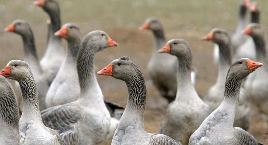 Det kan virke uskyldigt at smage på lidt foie gras i det eksotiske udland - men Dyrenes Beskyttelse minder om, at foie gras bliver til efter tvangsfodring og mishandling af gæs.