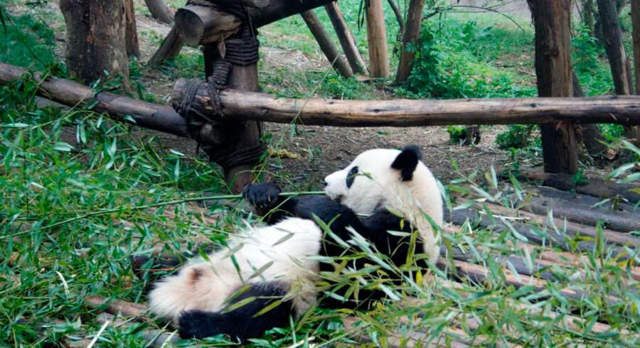 Pandaerne spiser bambusskud og dovner det meste af dagen.