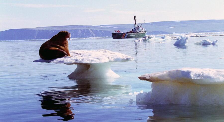 En række miljøorganisationer har advaret om katastrofale følger, hvis der sker oliespild i de følsomme havområder i russisk Arktis, hvor både russiske, europæiske, amerikanske og senest også kinesiske selskaber nu er involveret i udvinding af olie og gas. Foto: Scanpix