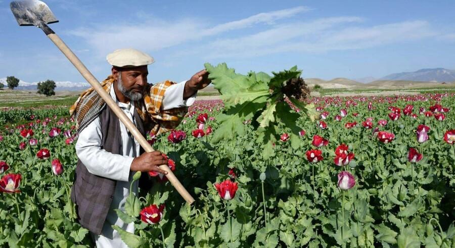 Dyrkningen af opium i Afghanistan nærmest eksploderer efter tilbagetrækningen af NATO-tropper.