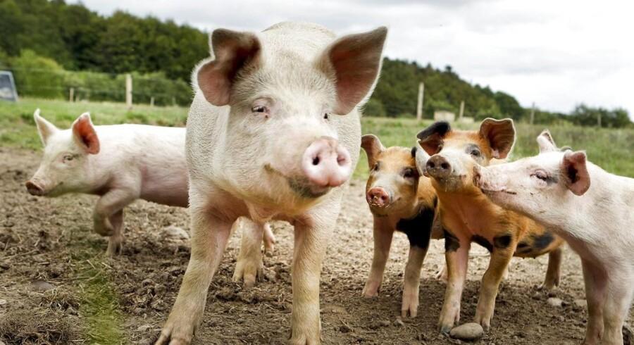 Alm. Brand øger sin eksponering mod landbruget - selvom erhvervet de seneste år har kostet banken voldsomme nedskrivninger. Billedet her er et modelfoto, og de pågældende grise behøver ikke at have været tabsgivende.