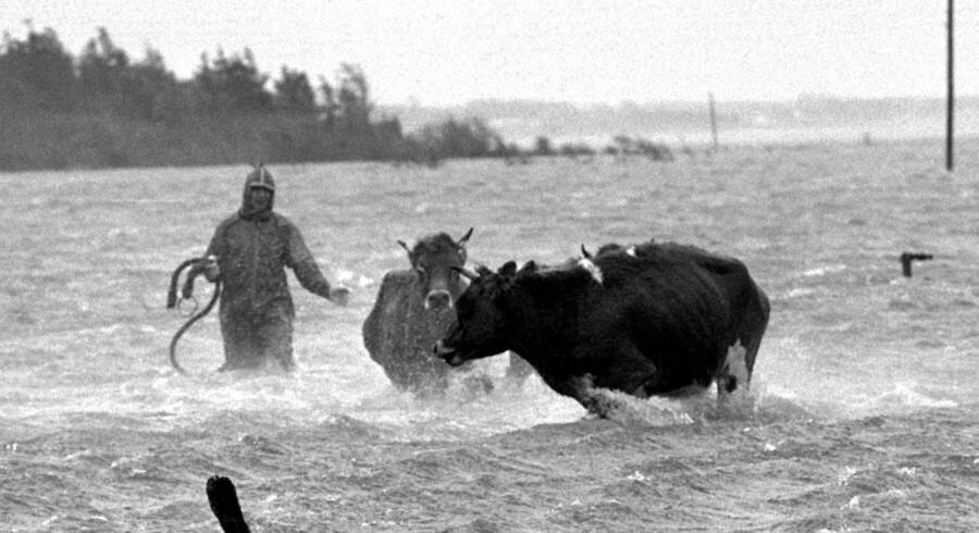 Tidevandets skift ved Vadehavet siges at give kødet en særlig saltet smag. Ifølge Reuters går traditionen 1.000 år tilbage i tiden. - Arkivfoto