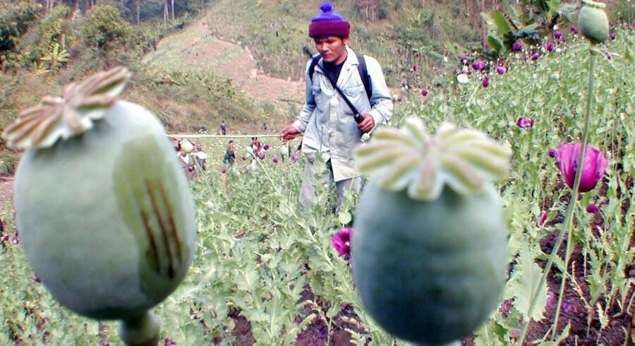 """En thailandsk frivillig luger opiumsvalmuer på den årlige """"Ødelæg Opiumsmarkerne""""-dag ved grænsen mellem Thailand og Myanmar. Produktionen af opium er støt stigende i Myanmar trods myndighedernes ihærdige forsøg på at komme den til livs."""