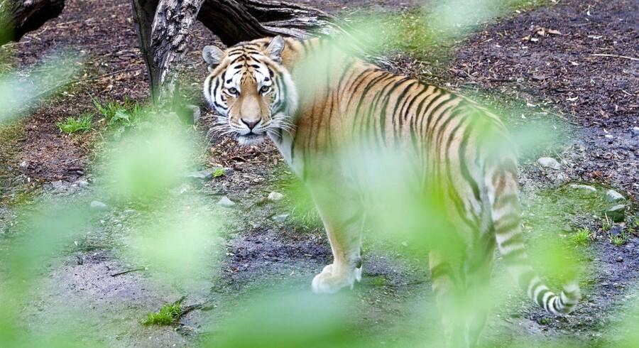 Arkivfoto. Den ene af Zoologisk Haves to huntigere er torsdag blevet slået ihjel af havens nye hantiger.