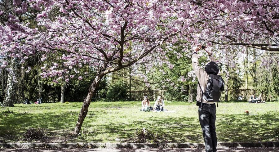 Arkivfoto: Københavns Kommune søger guider til at holde orden på Bispebjerg Kirkegård, når kirsebærtræerne blomstrer.