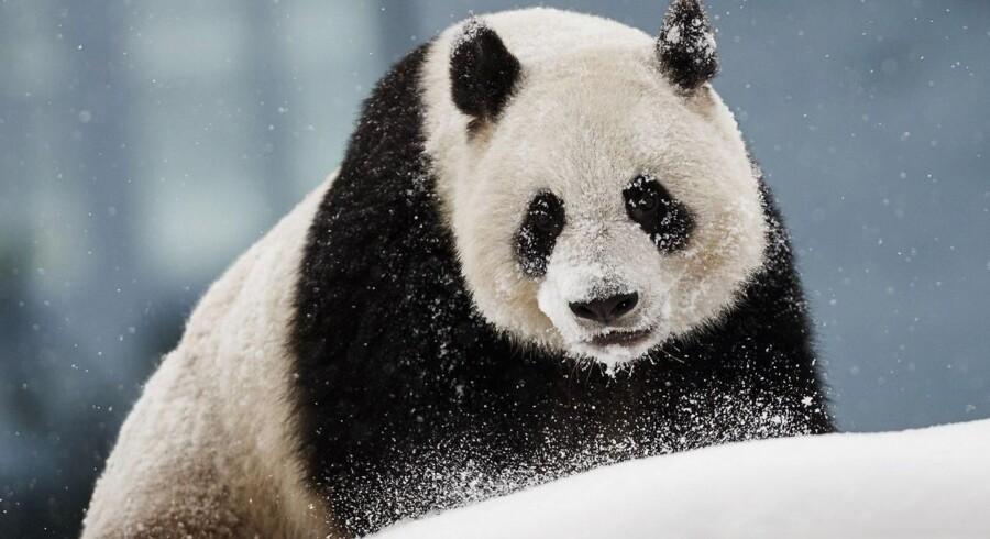 Tre provinser i Kina etablerer en gigantisk nationalpark for landets berømte, sort-hvide bjørneart.