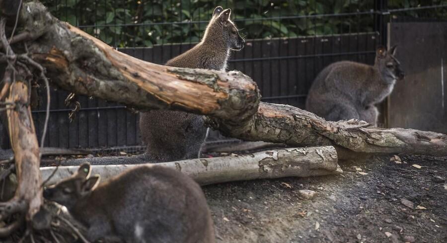 Det har været et farligt efterår for kænguruerne i Zoo. Tre såkaldte wallabyer er tre nætter i træk blevet dræbt. Efter alt at dømme af en byræv.