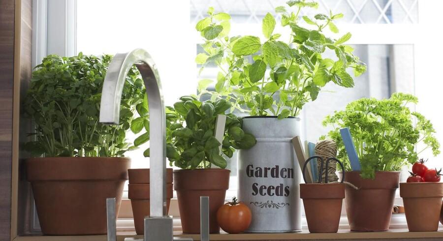 Modelfoto: Der er noget lækkert over at putte friske krydderurter på sin mad, men det kan være svært at holde de velduftende planter i live.