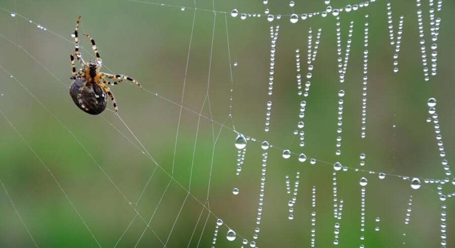 Denne lille edderkop kan slet ikke hamle op med Caerostris darwinis spind, der er det stærkeste i verden. Se link nederst i denne artikel for foto af edderkoppens spind over en flod i Madagaskar.