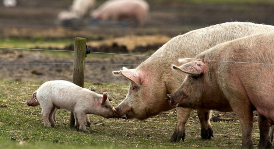 Slagterierne frygter, at svineinfluenzaen skal blive en gentagelse af den situation, der opstod for nogle år siden, da en global epidemi af fugleinfluenza brød ud. Her valgte forbrugerne i vid udstrækning kyllingekød fra af frygt for sygdom.