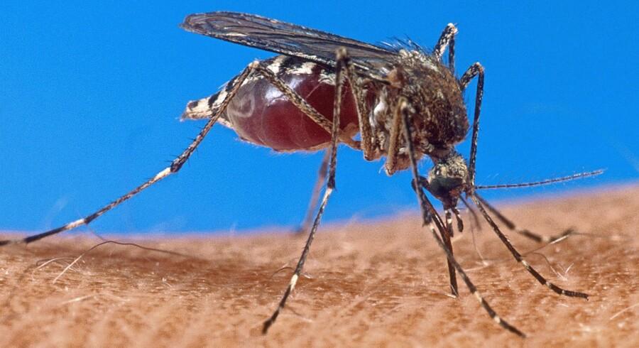 Det nye lægemiddel tafenoquine gør det langt hurtigere at behandle tilbagevendende malaria. Foto: Ritzau Scanpix