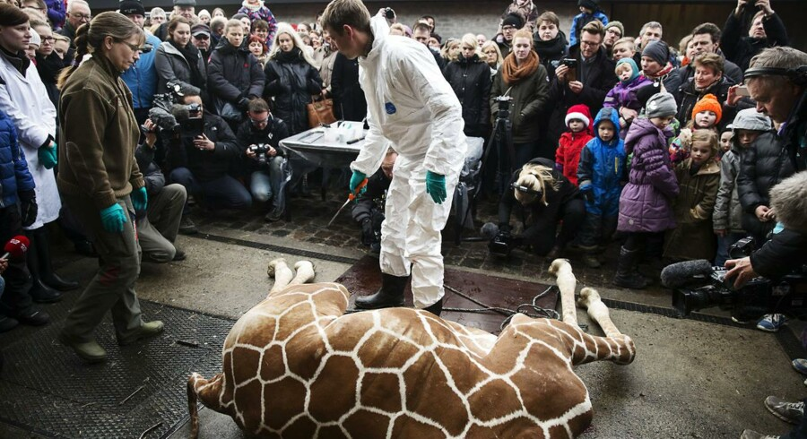 Den unge og efterhånden verdenskendte giraf Marius fra Københavns Zoo blev søndag formiddag aflivet og bliver her obduceret i overværelse af havens gæster, inden han blev foder for kødædere i den zoologiske have. Aflivningen foregik ved bedøvelse, og giraffen blev derefter skudt med boltpistol.