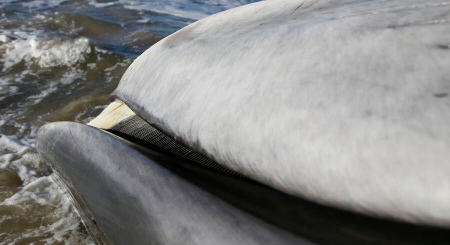 Tirsdag strandede en finhval ved Blokhus Strand. Nu er der muligvis også en strandet hval ved Blåvandshuk
