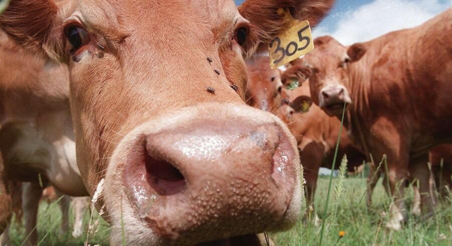"""Denne ko er godt nok fransk, men tyske køer fra delstaten Meckelnburg-Vorpommern blev indtil for nylig testet for kogalskab efter """"Rindfleischetikettierungsüberwachungsaufgabenübertragungsgesetz"""". Nu er loven - og dermed Tysklands hidtil længste ord - ophævet. EPA/AFP/ DERRICK CEYRAC"""