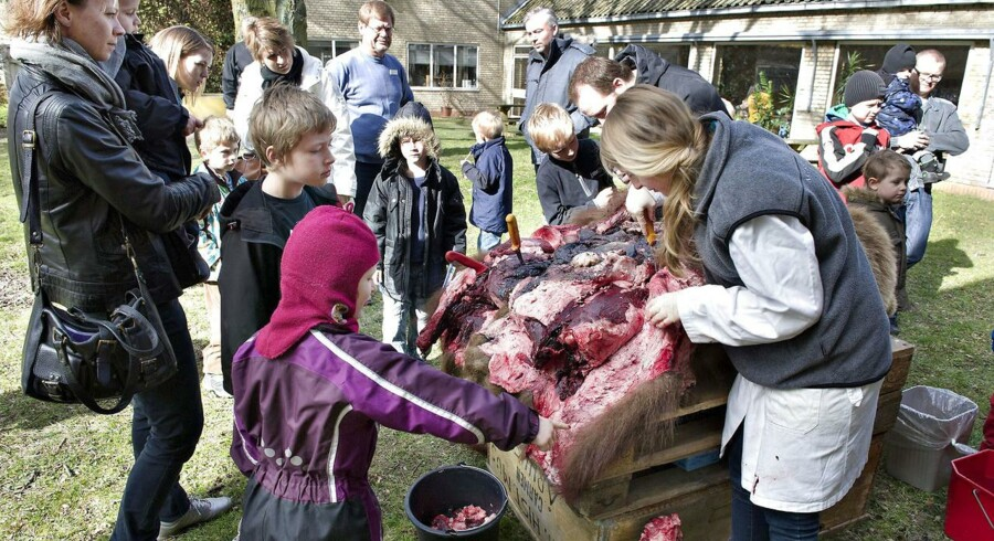Dissektion er en tilbagevendende publikumsmagnet påNaturhistorisk Museum i Aarhus. På billedet her er en brun bjørn blive skeletteret i påskeferien forrige år. Den døde bjørn blev parteret i museets have, så alle kunne følge med i den store proces, det er at skære skindet af og få alle knoglerne og indvoldene af.