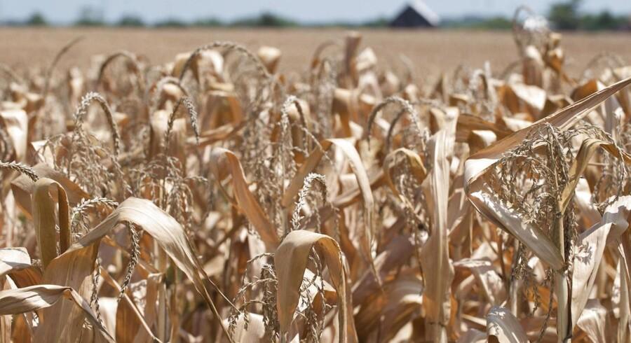 En udtørret mark i Indiana USA er tegner et tydeligt billede af den fejlslagne majshøst i USA.