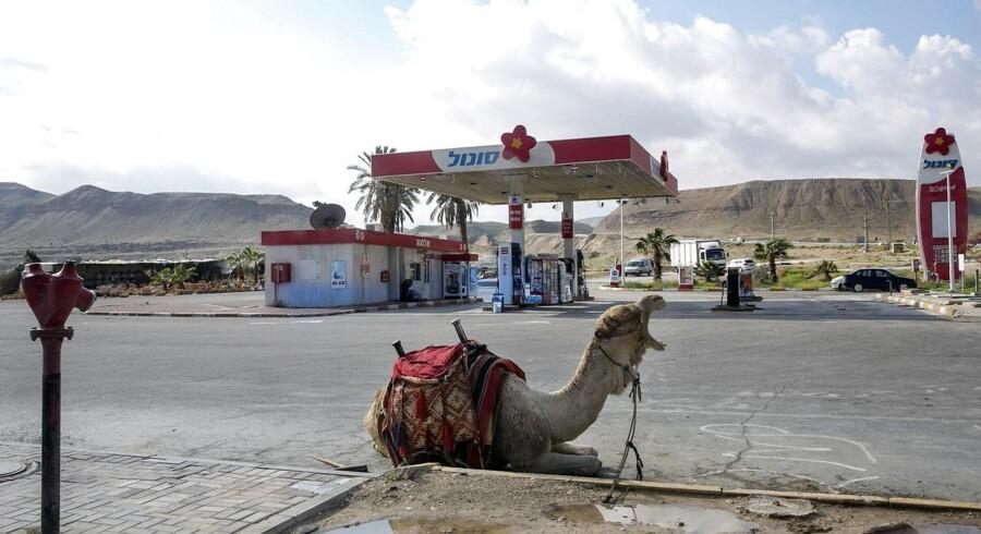 En kamel slapper af på en tankstation nær byen Jericho i Israel.