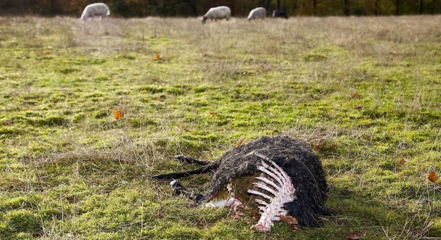 ARKIVFOTO. Hvis en ulv igen og igen spiser dine får, kan du nu få kompensation for at skyde den.