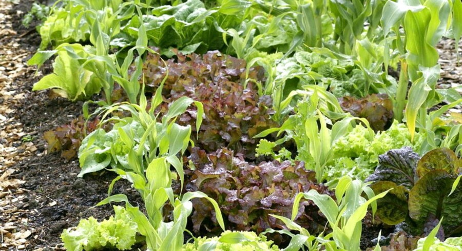 Salater og majs i en køkkenhave.