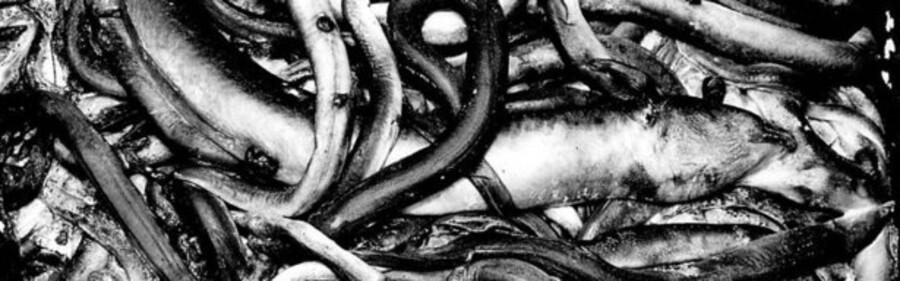 Ifølge Skat bor den typiske skatteål i Nordsjælland. Her ses dog nogle mere almindelige ål - af fiskearten.
