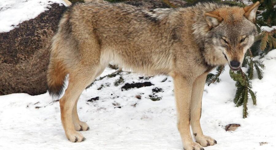 Fire fotofælder skal forsøge at bevis på, at der en ulv løs i Nationalpark Thy. Ulven på billedet er fra Zoo i København.