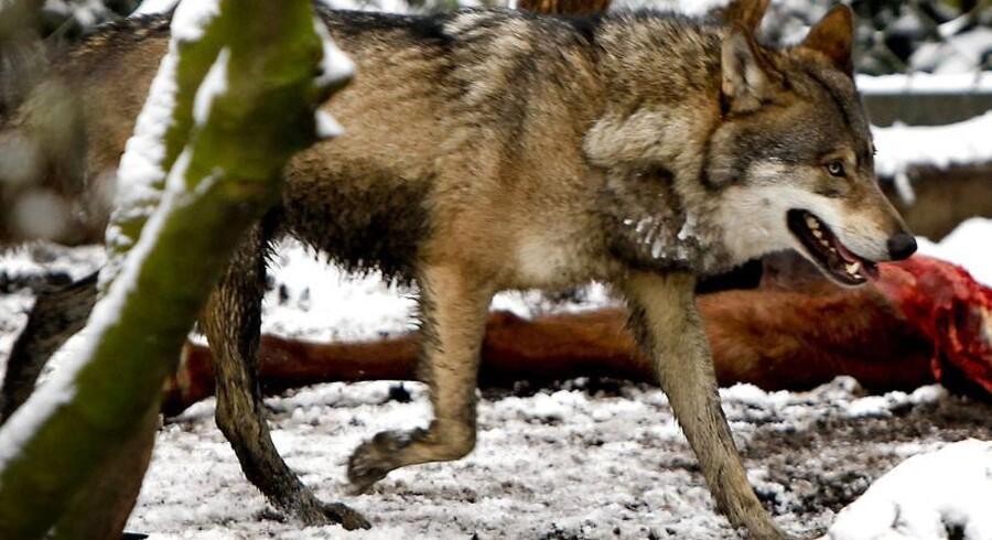 Der har ikke været set en vild ulv i Danmark i knap 200 år. Dette eksemplar bor i Københavns Zoologiske Have.